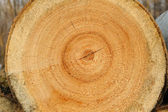 Sawn wood texture. — Stock Photo
