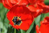 Tulipani rossi alla luce del sole — Foto Stock