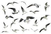 Set di bianco volare uccelli isolati. gabbiani — Foto Stock