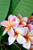 Frangipani flowers with green leaves — Stock Photo