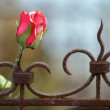Royalty-Free Stock Photo: Silk rose on rusted fence