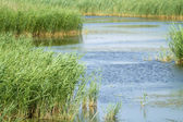 Reed in blue water — Stock Photo
