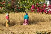 Nepalese peasant — Stock Photo