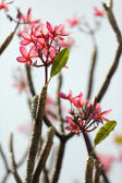 Frangipani flower and branch — Stock Photo