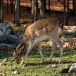 ������, ������: Bambi