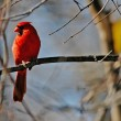 Cardinal  bird — Stock Photo