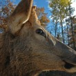 Deer   elk — Photo