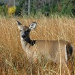 Deer — Stock Photo #11998457
