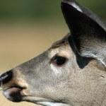 Deer elk — Stock Photo