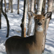 Deer — Stock Photo #11998467