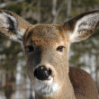 Deer — Stock Photo #11998468
