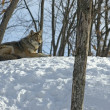 Stock Photo: Winter coyote