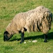 Stock Photo: Sheep