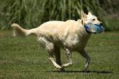 Running dog — Stock Photo