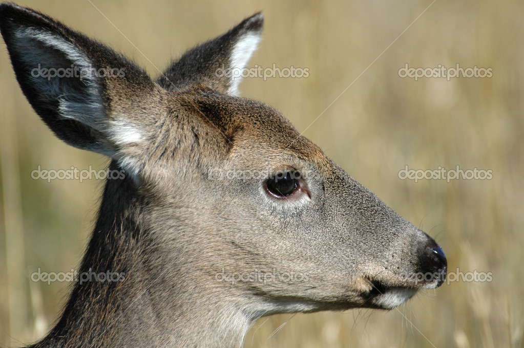 Deer elk — Stock Photo #11998445