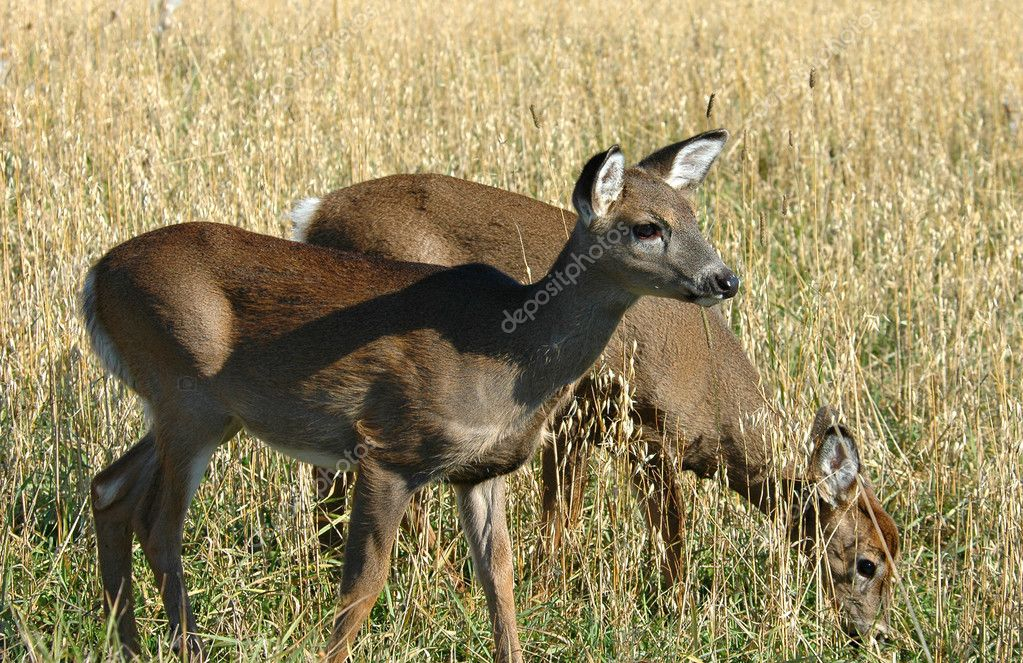 Deer elk — Stock Photo #11998449