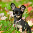 Chihuahua — Stock Photo #12000576