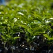 Stock Photo: Coffee Plants