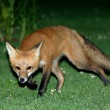 Fox runs away — Stock Photo