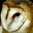 Barn Owl — Stock Photo #12001540