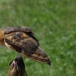 Обыкновенная сипуха — Стоковое фото