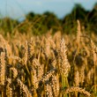 Wheat — Stock Photo