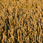 Wheat field — Stock Photo #12001893