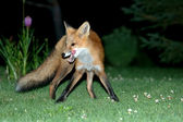 Fox on grass — Stock Photo