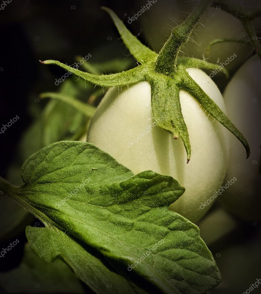 "An immature Roma type tomato and leaf that appear to be sprinkled with glittery ""faerie dust"" in the midday sun. — Stock Photo #11987160"