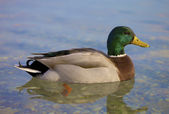 Beautiful Man Duck — Stock Photo