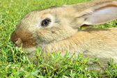 Rabbit isolated — Stock Photo