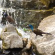 Grackles Fishing On The River — Stock Photo
