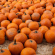 Many pumpkins in a pumpkin patch - Stock Photo