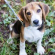 Obedient Beagle On Leash — Stock Photo #12074688