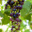Green Purple Wine Grapes on Vine - Stock Photo