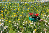 Red, Yellow, and White Daffodils Field Background — Stock Photo
