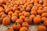 Many pumpkins in a pumpkin patch — Stock Photo