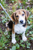 Obedient Beagle On Leash — Stock Photo