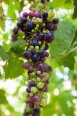 Green Purple Wine Grapes on Vine — Stock Photo