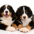 Royalty-Free Stock Photo: Berner sennenhund