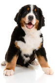 Bernese sennenhund — Stock Photo