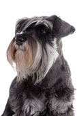 Schnauzer — Stock Photo