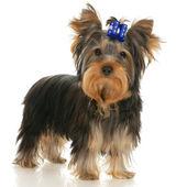 Yorkshire Terrier — Fotografia Stock