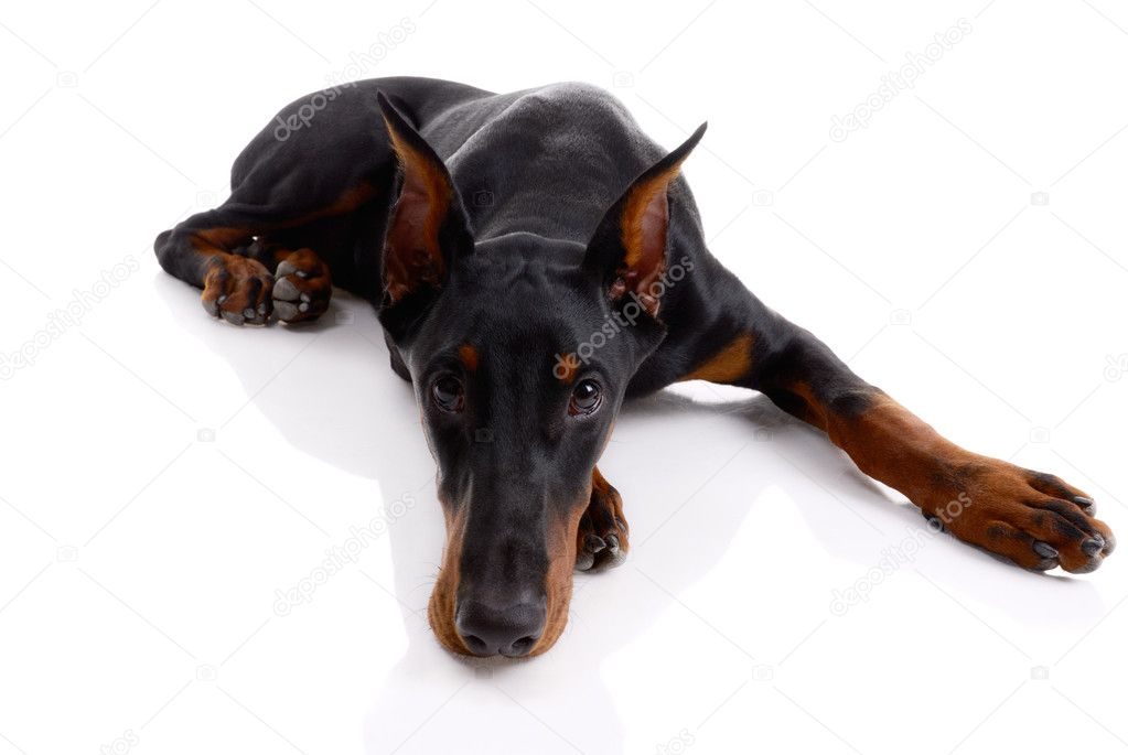 Black and brown doberman on white background — Stock Photo #12205377