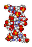 Part of a DNA double helix (a space filling model) — 图库照片