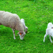 Sheep and small lambs — Stock Photo