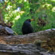 Stock Photo: Small blackbird on tree
