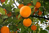 Several oranges on a tree branch — Stock Photo
