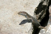Lizard peeking from a hole — Stock Photo