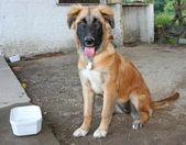 Ung hund att uppmärksamma — Stockfoto